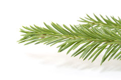 Fir-tree branch Royalty Free Stock Image