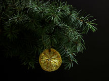 Fir tree branch isolated with dry slice of orange Stock Images