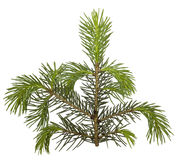 Fir tree branch isolated Stock Photos