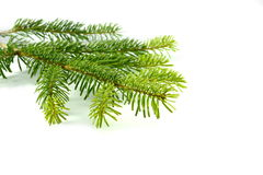 Fir tree branch. Fir tree branch isolated on a white background Stock Photo