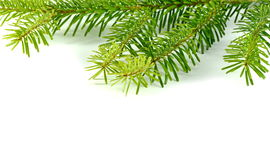 Fir tree branch. Fir tree branch isolated on a white background Royalty Free Stock Photo
