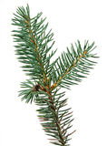 Fir tree branch. Isolated on white background Stock Photos