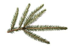 Fir tree branch isolated on a white background Stock Images