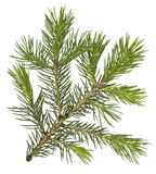 Fir tree branch isolated Royalty Free Stock Images
