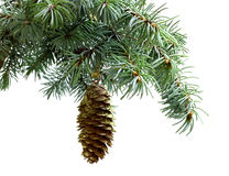 Fir tree branch isolated on white with fir pine cone Royalty Free Stock Image