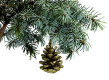 Fir tree branch isolated on white with fir pine cone Royalty Free Stock Photos