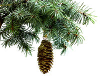 Fir tree branch isolated on white with fir pine cone Stock Image