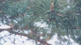 Fir tree branch outdoor, beautiful pine tree twigs. On a snow background stock footage