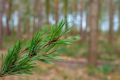 Fir Tree Branch  in the Outwoods Royalty Free Stock Photos