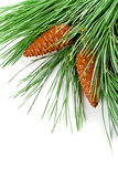 Fir tree branch with pinecones Royalty Free Stock Photography