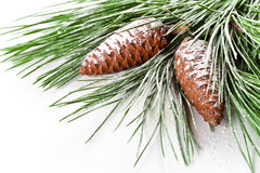 Fir tree branch with pinecones Royalty Free Stock Image
