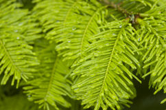 Fir tree branch in rain Stock Photos