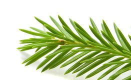 Fir-tree branch Royalty Free Stock Photos