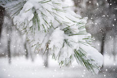Fir tree branch with snow Stock Photo