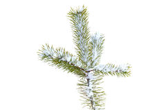 Fir tree branch with snow isolated Royalty Free Stock Photography