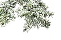 Fir tree branch with snow Royalty Free Stock Images