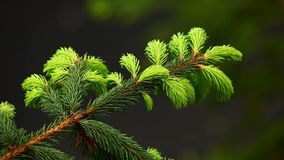 Fir tree branch stock footage