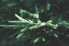 Fir tree branch. In sunlight. Nature background Royalty Free Stock Photo