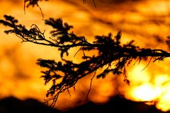 Fir tree branch during the sunset Royalty Free Stock Images