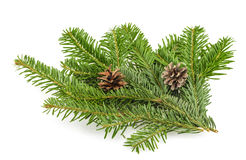 Fir tree branch on white Stock Images
