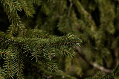 Fir-tree branch. Wood. Stock Photos