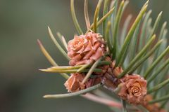 Fir-tree branch with the young growing cones royalty free stock photo