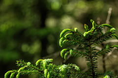 Fir-tree branch. Stock Images
