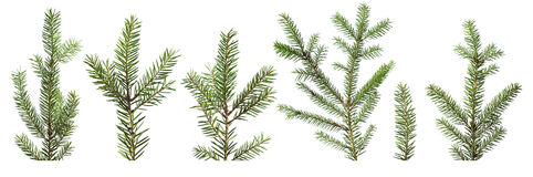 Fir tree branches royalty free stock image