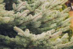 Fir tree branches Royalty Free Stock Photos