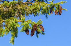 Fir tree branches above blue sky Stock Images