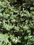 Fir-tree branches background. Furry  fir-tree branches with cone and small flowers background Stock Images