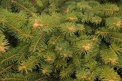 Fir-tree branches Royalty Free Stock Photos