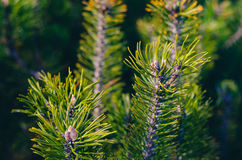 Fir tree branches Background Stock Images