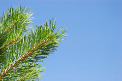 Fir tree branches on blue sky background Stock Images