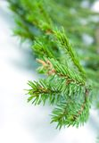 Fir tree branches, christmas decoration. Stock Image