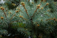 Fir tree branches close up royalty free stock photos