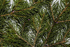 Fir-tree branches closeup. For background or postcard Royalty Free Stock Photo