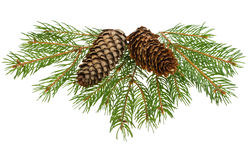 Fir tree branches with cones Stock Photos