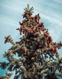 Fir tree branches and cones Stock Photo