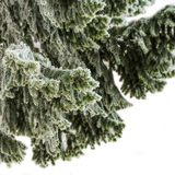Fir tree branches covered with frost Royalty Free Stock Image