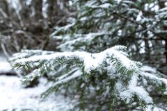 Fir tree branches covered with snow stock photos