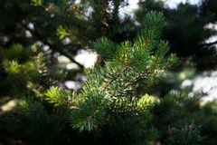 Fir-tree branches Royalty Free Stock Images