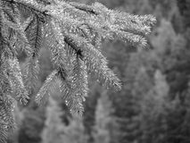 Fir tree branches dripping water drops against green background in a rainy day . Black and white photo.  Stock Image
