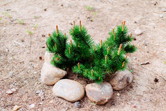 Fir tree branches fenced with stones on sand. Daytime photo Stock Photography