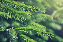 Fir tree branches. In forest Stock Photography