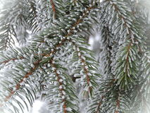 Fir tree branches in frost Stock Photos