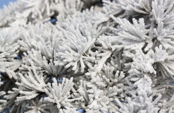 Fir tree branches - RAW format. Frozen fir tree branches detail Royalty Free Stock Images