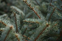 fir tree branches Stock Image