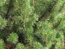 Fir tree branches, New Year background Stock Photos