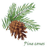 Fir tree branches with pine cone on white background. Fir tree branches with pine cone  on white background. Vector illustrations Stock Photography